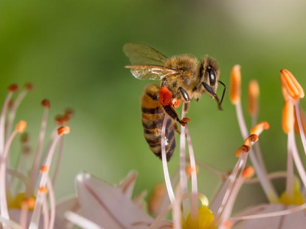 nektar-bee-515023
