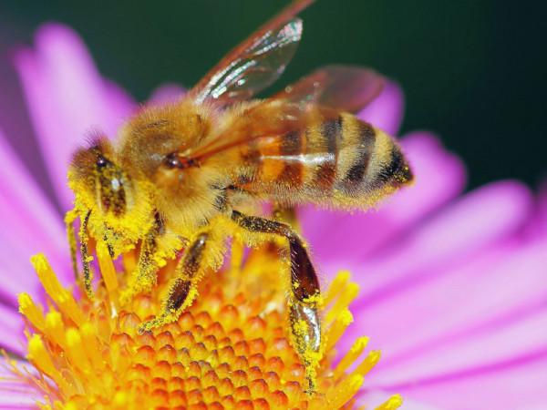 pollen-bee-471893