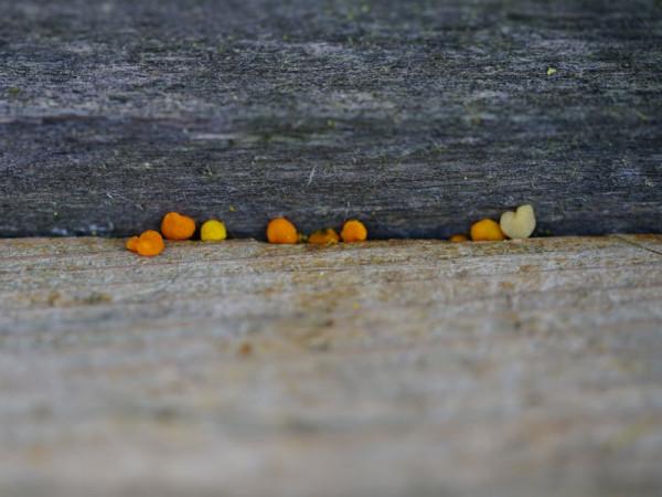 bienenbrot-bee-pollen-3164047